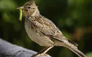 Зимует ли жаворонок у нас и является ли он перелётной птицей или нет