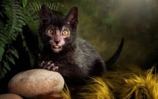 Порода кошек ликой: описание и происхождение породы, характер, уход и содержание