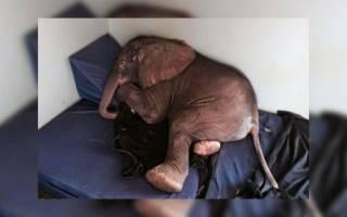 Скорбящая слониха несколько дней искала своего погибшего детёныша