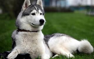 Уход за восточно-сибирской лайкой: описание породы, содержание и фото