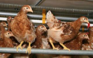 В каком возрасте куры-молодки начинают нести яйца, почему и когда они не могут нестись