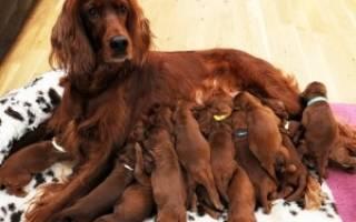 Сколько месяцев собака вынашивает щенят: как определить сроки беременности