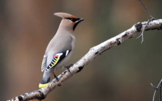 Свиристель: описание и особенности, перелётные они или зимующие птицы, фото