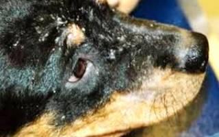 Причины появления перхоти у собак, виды препаратов и способы лечения