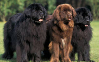 Порода собак ньюфаундленд (водолаз): характеристика и описание, особенности ухода