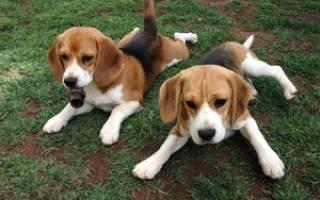 Собаки и щенки породы бигль: цены, фото, описание и история породы