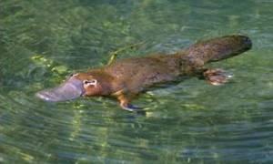 Сумчатые австралийские животные — список, описание с фото, среда обитания