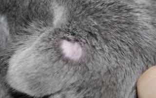 Стригущий лишай у кошек: описание начальной стадии и симптомы, способы лечения и профилактика