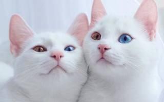 20 уникальных и редких пород кошек, о которых мало кто знает — Zoolog.guru