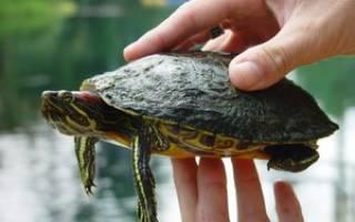 Красноухая черепаха в домашних условиях: критерии выбора и цена рептилии, описание, содержание и кормление