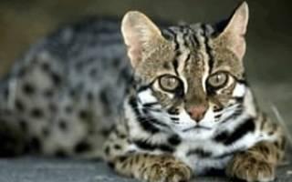 Кошки ашеры: фото животных и описание породы, цены в рублях