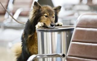 Новая поисковая порода зарегистрированная в России — собака Сулимова или шалайка