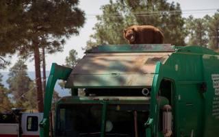 Медведь в Нью-Мехико прокатился на мусоровозе