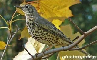 Дрозды — птицы перелетные или нет: описание дроздов, их образ жизни, питание птиц