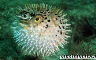 Рыба фугу — чем питается, где обитает, как выглядит, чем опасна и другие интересные факты