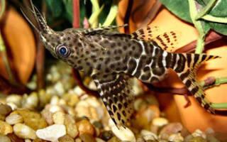 Сом синодонтис — интересный и удобный в содержании житель для аквариумов