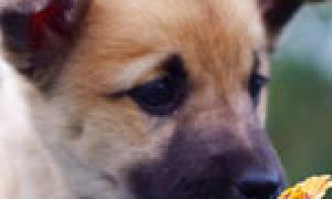 Признаки потери нюха у собаки