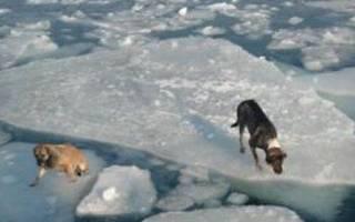 Во Владивостоке моряки спасли собак с дрейфующей льдины