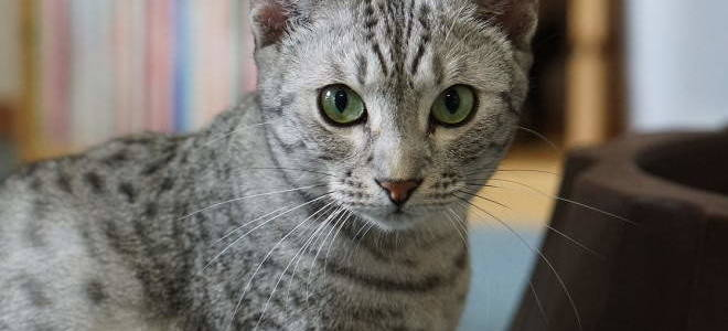 Как понять что кошка глухая и что делать