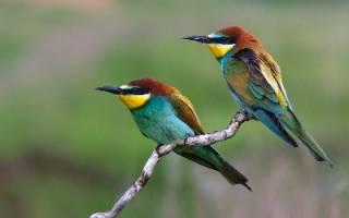 Птицы компенсируют неумение петь ярким оперением