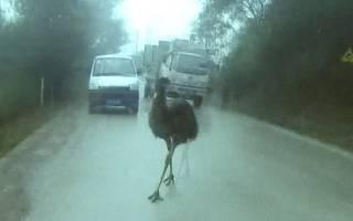 В Китае задержали страуса, нарушавшего правила дорожного движения