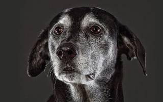 Признаки и симптомы деменции у собак