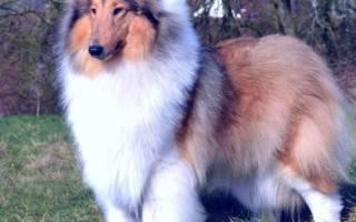 Колли — фото и описание собаки