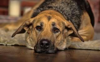 Цистит у собак: симптомы и косвенные признаки