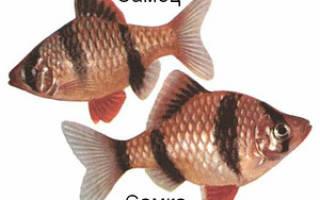 Барбусы и его отношения с другими рыбами: виды и совместимость
