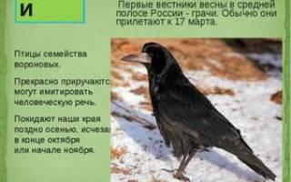 Какие птицы прилетают к нам первыми весной и очередность прилета