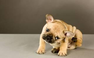 Пиодермия у собак: межпальцевая, поверхностная и другие виды, лечение и преепараты
