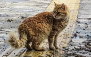 Хламидиоз у кошек: причины появления, симптомы и лечение, препараты