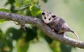 Характеристика опоссума: где обитает опосум, описание, фото животного