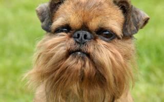 Гладкошерстные, брюссельские и бельгийские гриффоны: фото собак данной породы, описание грифонов