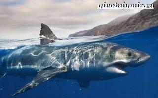 Белая акула — как выглядит и размеры, где обитает, чем питается и другие интересные факты