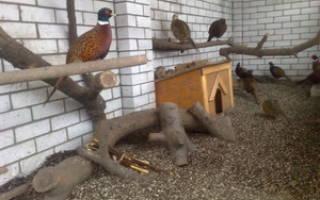 Особенности разведения и содержания фазанов в домашних условиях: выбор породы, устройство птичника, видео