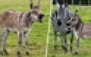 На британской ферме родился уникальный детёныш осла и зебры