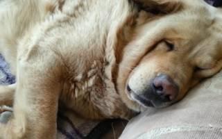 Волноваться ли хозяину, если собака храпит во сне