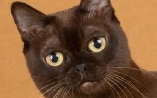 Кошки Бурманской породы: содержание и питание, описание и фото Бурмы