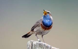 Певчие птицы России: фото с названиями