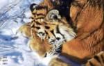 Старейшему амурскому тигру Приморья Тихону залечили зубы