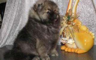 Цена в рублях за покупку карликового померанского шпица, фото собаки и особенности ухода