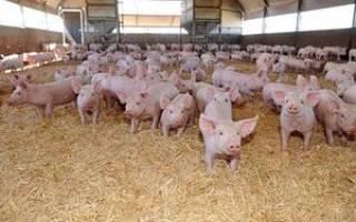 Откорм свиней в домашних условиях: разновидности откормов, эффективные способы откорма поросят на бекон и мясо