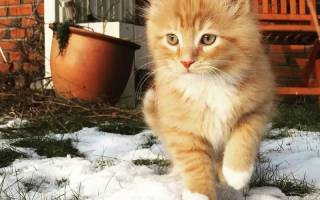 Рыжий кот очень любит прогулки с людьми на свежем воздухе