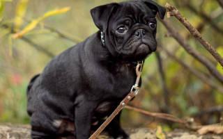 Самая простая в содержании порода собак — название и описание