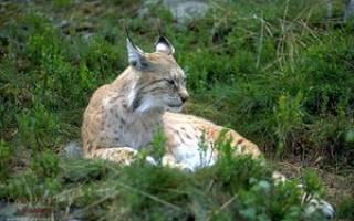 Где живет, как обитает и защищается рысь от врагов, основные виды животного