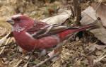 Птицы Урала: краткое описание, фото и название, какие виды остаются зимовать