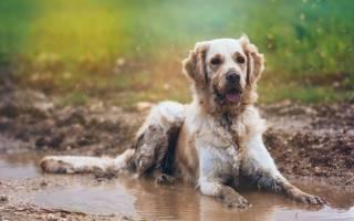 Почему пес любит валяться в грязи