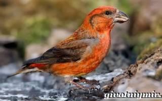 Птица клест- еловик в природе: описание, питание, размножение