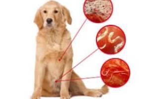 Глисты у собак: основные признаки и симптомы, виды гельминтозов и фото, лечение и меры профилактики паразитов